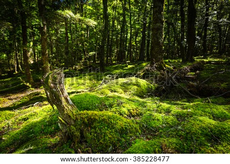 New Zealand native forest with mossed ground