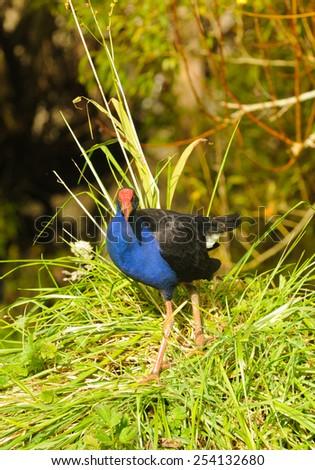 New Zealand Pukeko, a native bird in the wild - stock photo