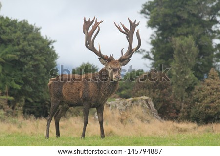 New Zealand Red Stag With Huge Rack