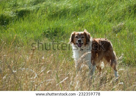 New Zealand sheep dog in beach side field of long grass  - stock photo