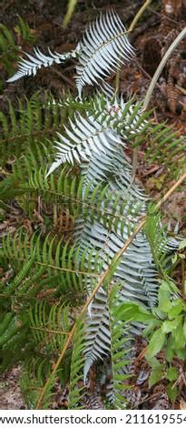 New Zealand Silver Fern, National Symbol - stock photo