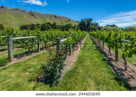 New Zealand vineyard with roses - perfect formation of green grapevines rising into a blue sky - stock photo