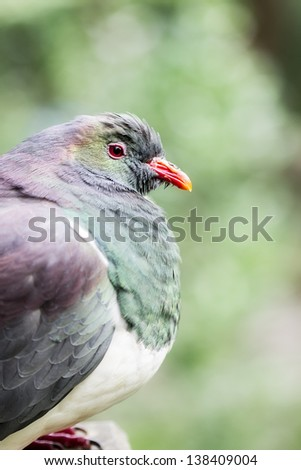 New Zealand wood pigeon (Hemiphaga novaeseelandiae) - stock photo