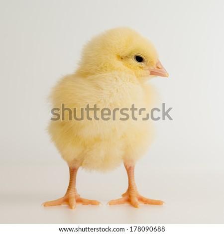 Newborn baby chick - stock photo