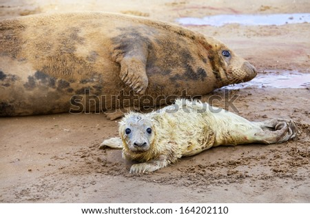 Newborn baby grey seal with its mother on the beach, Donna Nook, UK - stock photo