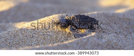 Newborn baby Leather-back Turtle hurrying to the ocean through sand dunes, Baja, Mexico