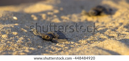 Newborn baby Leather-back Turtle hurrying to the ocean through sand dunes, Baja, Mexico - stock photo