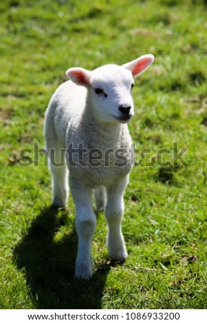 Newborn baby sheep on green gras