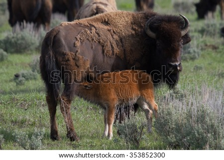 newborn bison calf nursing from mother in yellowstone national park