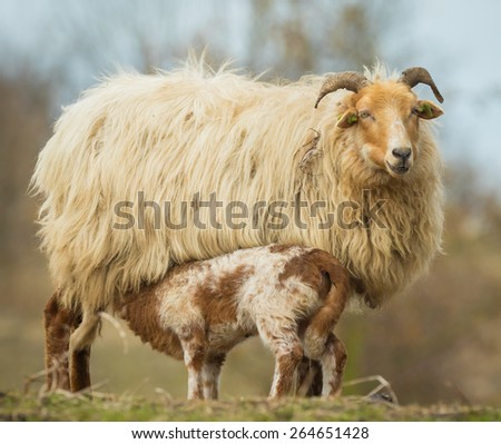 Newborn brown white lamb  (Capra aegagrus hircus) in Springtime standing in a field and drinking milk by his mother. - stock photo