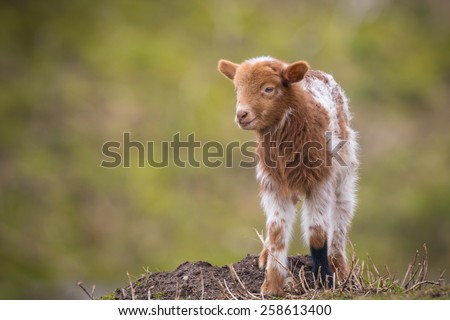 Newborn brown white lamb in Springtime standing in a meadow. - stock photo