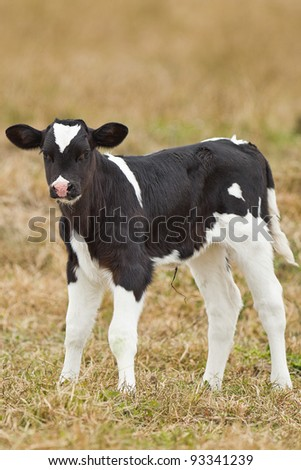 Newborn calf - stock photo