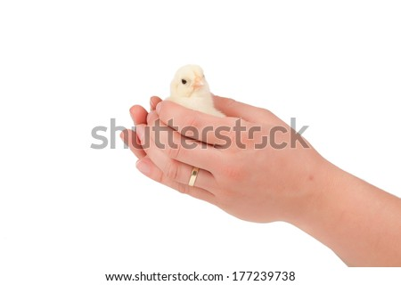 Newborn chick on a farmer's hand  on white - stock photo