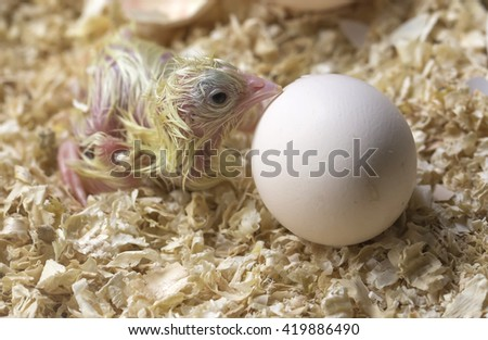 Newborn chick waiting for her brother - stock photo