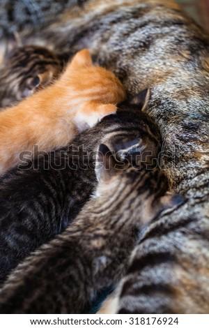 Newborn cute siberian kitten sucks milk from mother breast close-up - stock photo