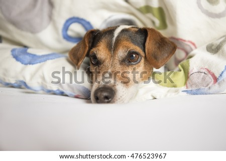 Newborn dogs puppies - 20 days old - jack russell terrier