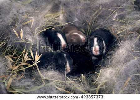 Newborn Dwarf Dutch rabbits   in the nest of dry grass and down. Babies one week  after birth