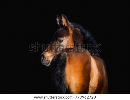 Newborn foal posing for portrait on a black background