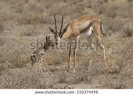 Newborn gazelle and mother - stock photo