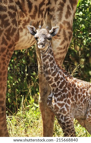 Newborn giraffe (Giraffa camelopardalis) with its mother in the background on the Maasai Mara National Reserve safari in southwestern Kenya. - stock photo