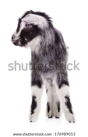 newborn goat stands. animal Farm. Isolated on white background
