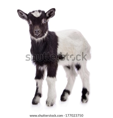 newborn goat stands. animal Farm. Isolated on white background - stock photo