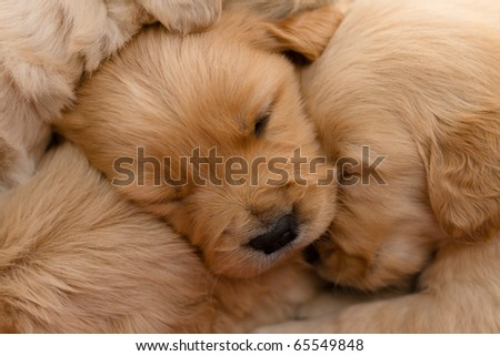 Newborn golden retriever - stock photo