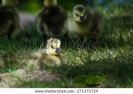 Newborn Gosling Wearing a Pine Needle Hat - stock photo