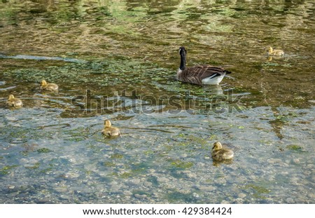 Newborn goslings stay close to their mother in a stream.