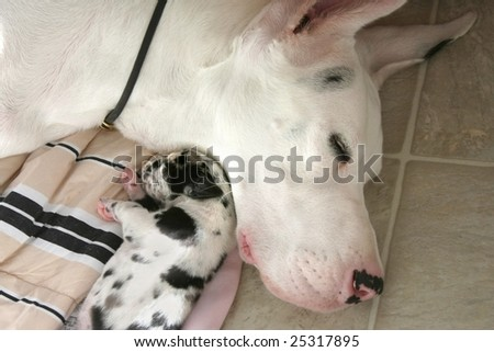 newborn Great Dane puppy sleeping with mother