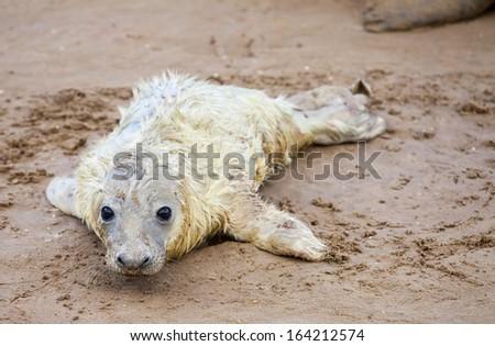 Newborn grey seal pup, Donna Nook, UK - stock photo