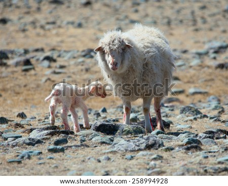 newborn lamb with mother on background of mountains - stock photo
