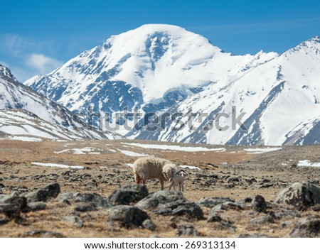 newborn lamb with mother on background of mountains