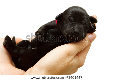 Newborn pappy of Labrador retriever - stock photo