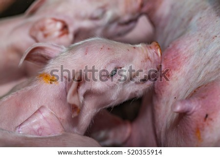 Newborn piglets fed milk from the mother pig, then fell asleep.