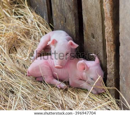 Newborn piglets on the farm. - stock photo