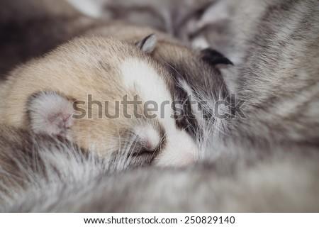 Newborn puppies Siberian Husky. Meals mother's milk. - stock photo