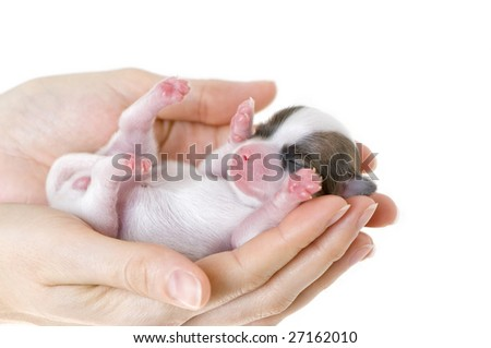 newborn puppy in  the caring hands - stock photo
