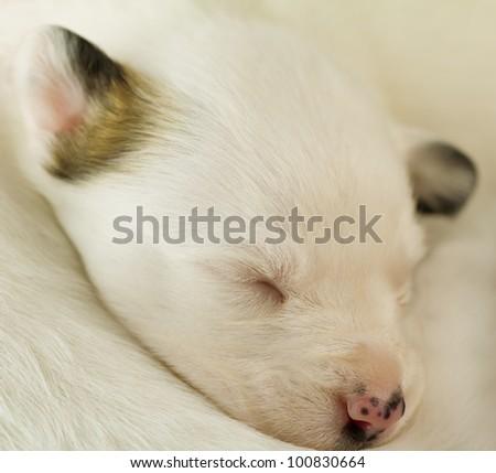 newborn puppy sleeping - stock photo