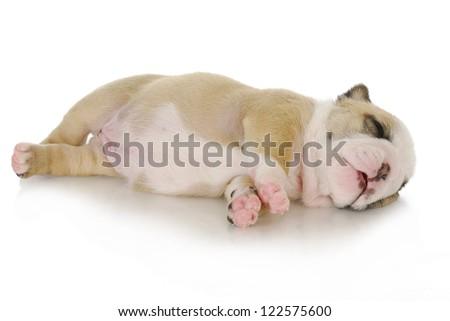 newborn puppy - three week old english bulldog puppy laying down sleeping on white background - stock photo