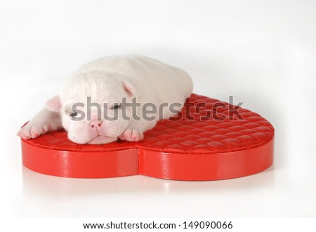 newborn puppy - two week old english bulldog puppy laying on red heart isolated on white background