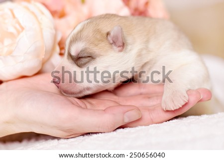 Newborn pups siberian husky by human hands with a vintage tone added