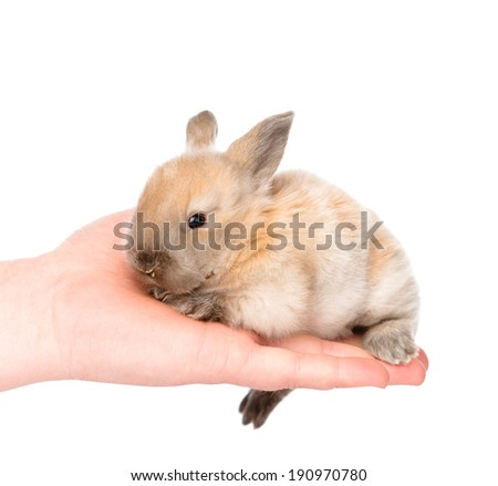 newborn rabbit on a person's palm. isolated on white background