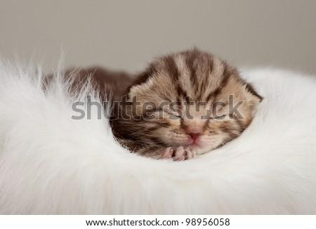 Newborn sleeping british baby cat - stock photo