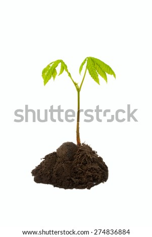 Newborn small green plant - chestnut. Isolated on white. - stock photo