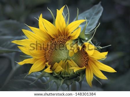 Newborn Sunflower closeup - stock photo