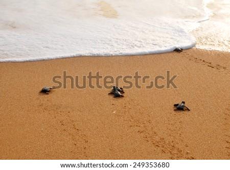 Newborn turtles migrates to the ocean - stock photo