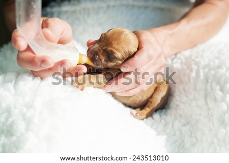 Newborn whelp fed with a small bottle of milk by human hands. The little puppy is one day of age. Image in front of white background. It is a purebred Rhodesian Ridgeback dog. - stock photo
