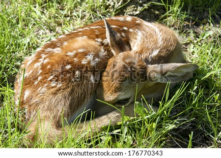 newborn whitetail fawn laying on a meadow of green grass