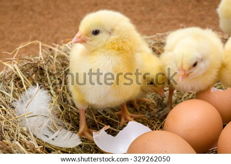 Newborn yellow chickens in hay nest along whole and broken eggs